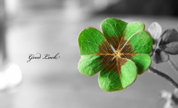 Four Leaf Clover Wallpaper