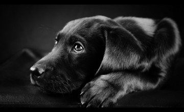 Free Animated Black Lab Wallpaper