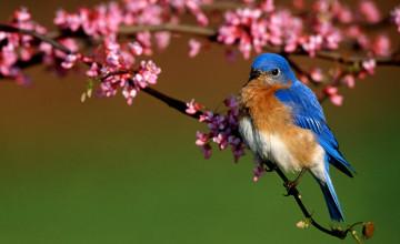 Free Bluebird Wallpaper for Desktop