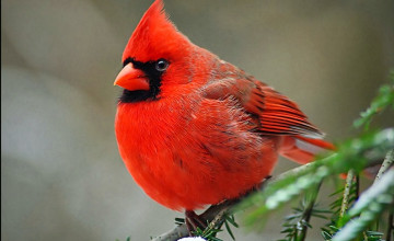 Free Cardinal Wallpaper