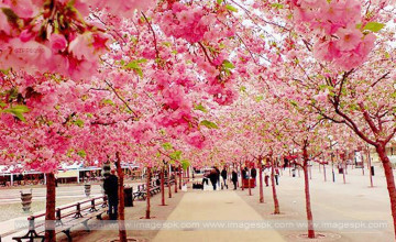 Free Cherry Blossom Wallpaper