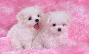 Free Desktop Wallpaper Pictures Puppies