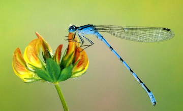 Free Dragonfly Screensavers and Wallpaper