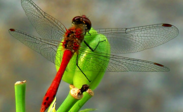 Free Dragonfly Wallpaper for Desktop