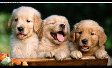 Free Golden Retriever Puppy Wallpaper