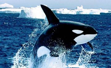 Free Orca Wallpaper