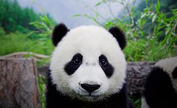 Free Panda Bear Wallpaper