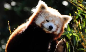 Free Red Panda Wallpaper
