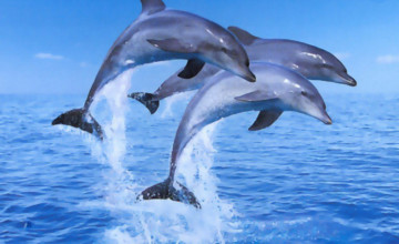 Free Wallpaper of Dolphins