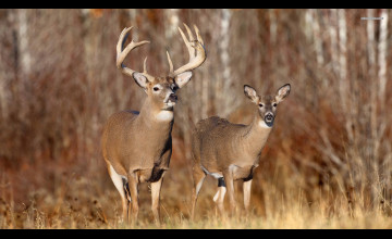 Free Whitetail Deer Pictures Wallpaper