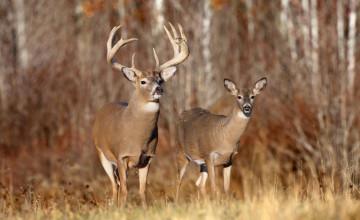 Free Wildlife Wallpaper Bucks