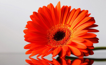 Gerbera Flower Free Wallpaper