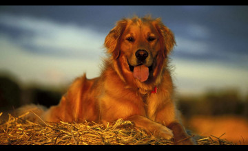 Golden Retriever Backgrounds