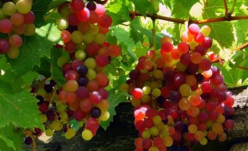 Grape Wallpaper