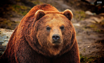 Grizzly Wallpapers