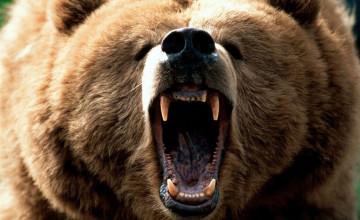 HD Bear Wallpapers