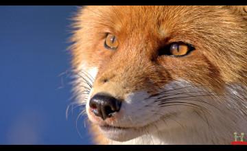 HD Fox Wallpaper
