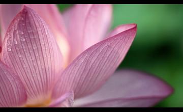 HD Wallpaper Pink Flowers