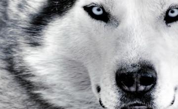 Hd Wolf Wallpaper