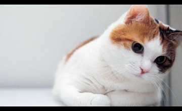 High Definition Cat Wallpaper