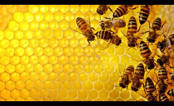 Honey Bee Desktop Wallpaper