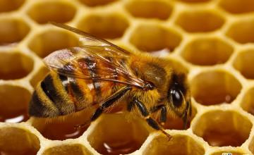 Honey Bee Wallpaper for Walls