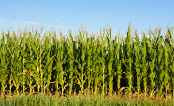Illinois Corn Field Wallpaper