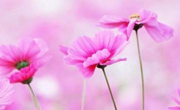 iPhone 6 Plus Flower Wallpaper