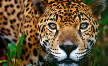 Jaguar Wallpaper Animal