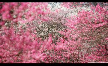 Japanese Cherry Blossom Wallpaper 1920x1080
