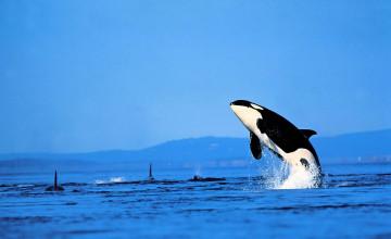 Killer Whale Wallpaper Desktop