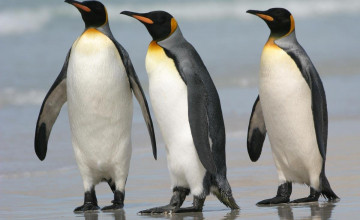 King Penguin Wallpaper