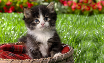 Kitten Backgrounds