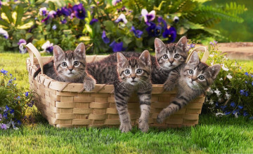 Kitten Wallpapers Free Download