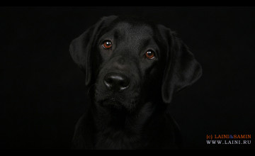 Labrador Retriever Wallpapers for Desktop