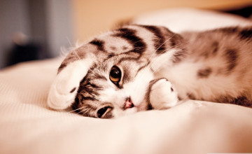 Lazy Cat Wallpapers