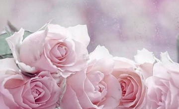 Light Pink Roses Wallpaper