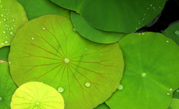 Lily Pad Wallpaper