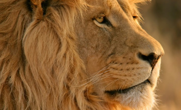 Lion Screensavers and Wallpaper