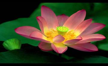 Lotus HD Wallpaper