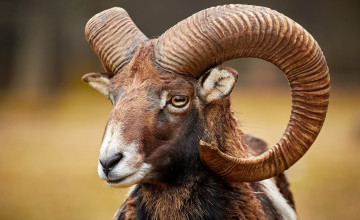 Mouflon Wallpaper