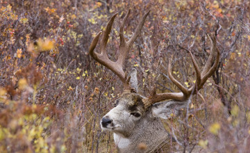 Mule Deer Wallpaper for Desktop