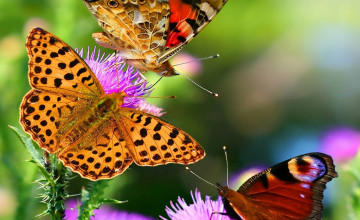 Nature Butterfly Wallpaper