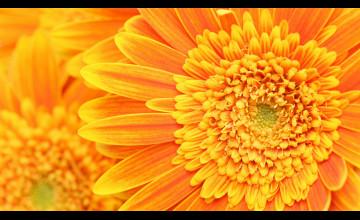 Orange Flower Wallpaper Background Desktop
