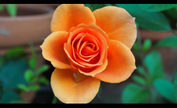 Orange Roses Wallpapers