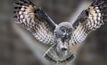 Owl Flying Wallpaper