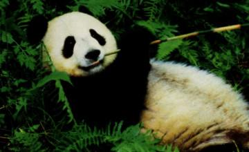 Panda Bear Wallpaper Desktop
