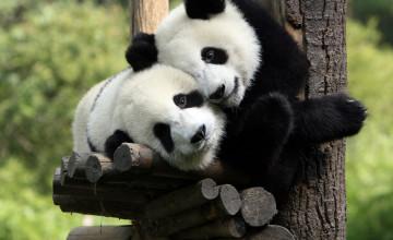 Panda Bear Wallpapers