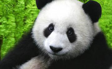 Panda Wallpaper for Laptops