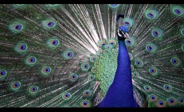 Peacock Wallpaper Wallcoverings